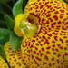 Papucsvirág