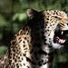 Leopárd mosoly