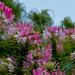 Badacsonyi virágok