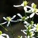 09 Fehér virágocskák