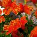 06 Cirmos sarkantyúvirág
