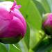 05 Pünkösdi rózsák