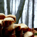 Csupros gombák