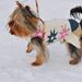 Téli kutyatánc
