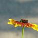 virágzó/Pompás Kúpvirág