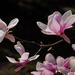 DSC03346,magnolia