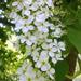 díszfa virágai