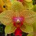 orchidea 1.