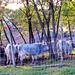 szürke marhák