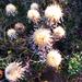 kerti szamárkóró