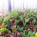 örökzöld és levelek