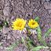 januári virágok