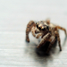 plain spider
