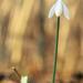 Egyedül-Galanthus