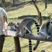 Veszprémi állatkert Gyűrűsfarkú maki 2