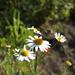 fuj-nyár -virágok.nyár