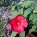 piros mocsári hibiszkusz