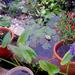 csilik és sellővirág
