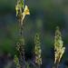 Talajmenti virágocska