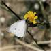Őszi pillangó