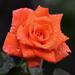 Rózsa az esőben