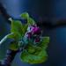 Almafa virága.