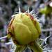 Zúzmarás rózsbimbó