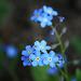 A kis kékség