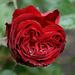 Szirom-szív