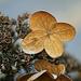 Téli hortenzia