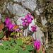 Cyclamen purpurascens - erdei ciklámen