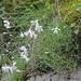 Dianthus plumarius subsp praecox - korai szegfű
