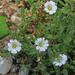 Cerastium alpinum - havasi madárhúr