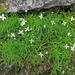 Moehringia muscosa - mohos csitri