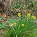 Tofieldia calyculata - hegyi pázsitliliom