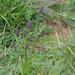 Phleum alpinum - havasi komócsin