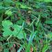 Carex pendula - lecsüngő sás