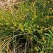 Carex echinata - töviskés sás