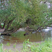 Salicion albae - puhafaliget, Ipoly-Duna találkozása