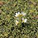 Hottonietum palustris - békaliliomhínáros