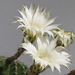 Echinopsis eyriessi 3