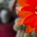 kaktusz virág