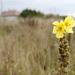 virágzó ökörfarkkóró