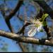 kóbor szilvafa virág