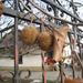 platánfa termése és levele
