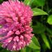 lucernavirág