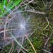 selyemkóró termése