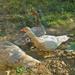 paradicsomos kacsa