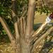 ötujjas köcsögfa