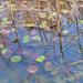 tavirózsa levelek